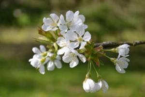 chambre dhotes Normandie Calvados jardin fleurs cerisier PF