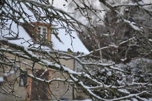 la bihoree mesange sous la neige pf