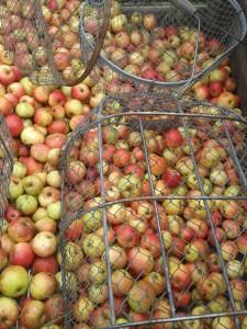 recolte des pommes pf