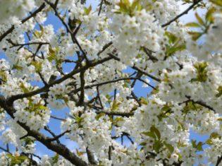 la bihoree printemps cerisier en fleur